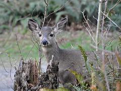 Young Deer (Pat's Pics36) Tags: one 1 peekaboo young deer stump chehalis thousandtrails nikond90 nikkor18to200mmvrlens