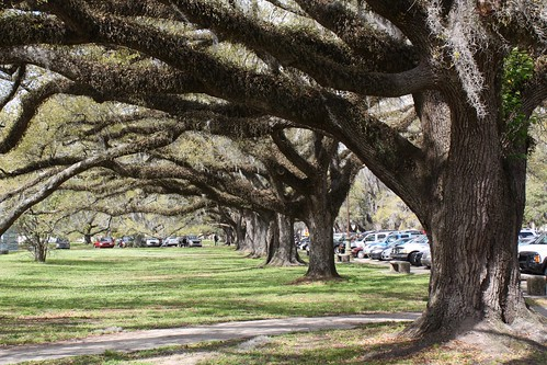 Oak trees lining City Park