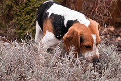 293/365 Floyd smells the lavender (Paguma / Darren) Tags: dog hound lavender floyd tamronspaf1750mmf28xrdiiildasphericalif