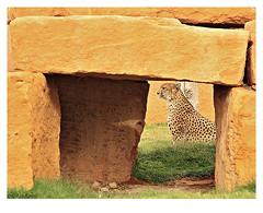 Cheetah (HASAN_ADEL) Tags: life wild animal canon zoo rocks frame saudi arabia l cheetah framing 450 riyadh adel ksa hasan 24105           450d