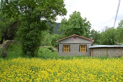 Rapeseed field in Tibet (Rosanna Leung) Tags: house flower tree field yellow village tibet rapeseed      rapaseed   rapeseedflowers
