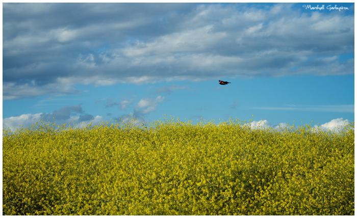 Bird and mustard
