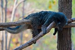 Binturong Napping (aeschylus18917) Tags: nature thailand zoo nikon wildlife chiangmai txt edit pxt bearcat binturong asianbearcat arctictisbinturong 80400mm carnivora 80400mmf4556dvr chiangmaizoo   prehensiletail viverridae d700 80400mmf4556vr arctictis  ratchaanachakthai nikond700 paradoxurinae danielruyle aeschylus18917 danruyle druyle