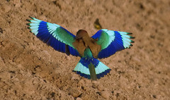 Indian Roller (TARIQ HAMEED SULEMANI) Tags: summer nature birds wheat harvest tariq indianroller khanewal concordians sulemani jahanian theinspirationgroup