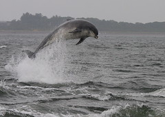 Moray firth dolphin (Ally.Kemp) Tags: wild point scotland highlands jump jumping marine dolphin wildlife north free scottish dolphins mammals leap leaping breaching moray rosemarkie blackisle firth rnli chanonry bottlenose breach fortrose kessock