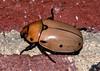 Grapevine Beetle (martytdx) Tags: home insects beetles nightshooting scarabbeetles scarabaeidae rutelinae bigbeetle grapevinebeetle pelidnotapunctata pelidnota shiningleafchafers rutelini mothstraveganza june20112011
