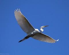 IMG_5203 5x4 16-3-1 w (grilee3) Tags: whiteheron heron greatwhiteheron wadingbird staugustine florida flight bird