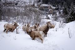 Bighorn Sheep (nhblevins) Tags: alberta canada sunshinevillage bighornsheep winter