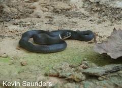 Diadophis punctatus edwardsii (Marshall Herpetology) Tags: reptile snake marshall ringneck herpetology marshalluniversity diadophis punctatus