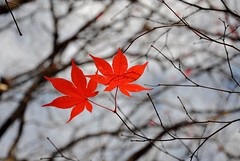 haiku (christiaan_25) Tags: autumn red sky nature leaf maple poetry poem haiku bokeh branches dream explore japanesemaple delicate twigs acerpalmatum intricate 152  blueribbonwinner irohamomiji anawesomeshot   5november2009