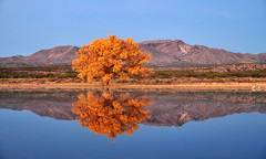 Bosque Sun Rise (Spencer Foto) Tags: mirror reflection wildlife birdrefuge bosque nature water pond fall yellow colors leaves nikon newmexico birdmigration wildliferefuge bosquedelapache fallcolors nmlandscape newmexicolandscape
