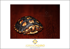 A Tartaruga // The Turtle (Adriano Aquino) Tags: animal turtle tortoise shell casco tartaruga carapace carapaa quelnio