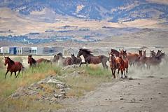 Born to Run part 2 ({photonista} Rachel Hamrick) Tags: summer horses landscape nikon desert nevada reno wildhorses stallion mustangs d90