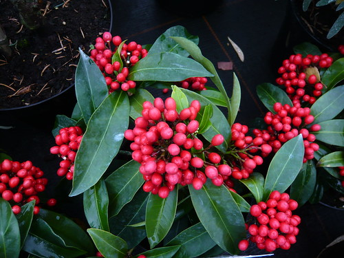 Skimmia Fruit