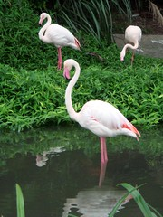 Flamingo (Anthony van Dyck) Tags: taiwan taipei taipeizoo