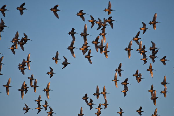 Marbled Godwits in the setting sunlight