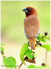 PORTRAIT OF A RELUCTANT MUNIA (Rahul Rallan) Tags: birds perched munia scalybreasted supershot abigfave flickrdiamond theunforgettablepictures
