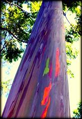 Rainbow Tree (diane_l) Tags: tree hawaii amazing colorful maui bark picnik roadtohana rainbowtree