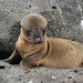 Galapagos Islands Baby Sea Lion