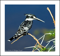 Pied Kingfisher - Amboseli National Park - Wildlife in Kenya (Lucie et Philippe) Tags: voyage africa travel white black bird birds pie nationalpark amazing bravo king noir martin kenya wildlife aves safari e kingfisher pied bianco blanc nero oiseau philippe fischer pescador oiseaux pescatore afrique martn amboseli po alcedinidae langel ceryle alcyon chordata kingfishers vertebrata rudis martinpcheur kingfischer coraciiformes eisvogel martinpecheur abigfave flickrdiamond graufischer kirjokalastaja guardariosmalhados grfisker terneisfugl