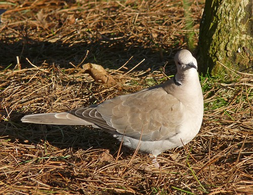 11873 - Collared Dove at WWT Llanelli