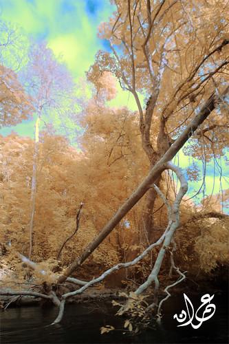 Trees (IR), Lata Berkoh