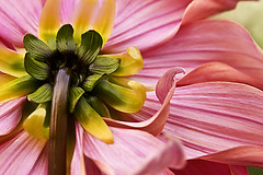 A Beauty of Summer.....The Backside (Julie Frances Photography) Tags: dahlia flowers summer flower floral beautiful beauty yellow gardens garden flora nikon gardening nikond100 elegance aclass wow1 wow2 wow3 polestar greatphotographers colorphotoaward 518capitaldistrict artofimages bestcapturesaoi