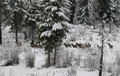 Elk Herd (hey old man) Tags: mountains jeep remoteareas jeepsnow jeepcountry