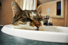 Cullen (Gifts of Nature Photography) Tags: cat bathroom sink naturallight bestofcats
