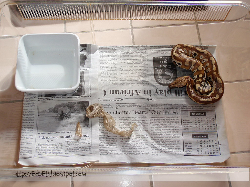 2010-02-10 04 Malaysia Blood Python