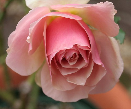 Marilyn Monroe (Hybrid Tea Rose)