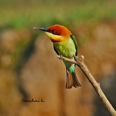 Chestnut-capped Bee-eater (somchai@2008) Tags: supershot chestnutheadedbeeeater meropsleschenaulti specanimal mywinners avianexcellence fli