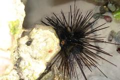Philippines sea urchin (joaniemaria) Tags: philippines bohol panglao