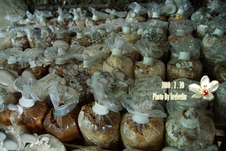 南投埔里菇之鄉|豐年生態農場~不用找靈芝草人也能吃到靈芝