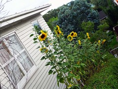 Sunflower Shrub (Yim Wai Hong) Tags: newzealand sunflower floraandfauna