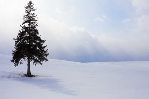 クリスマスツリーの木 #1