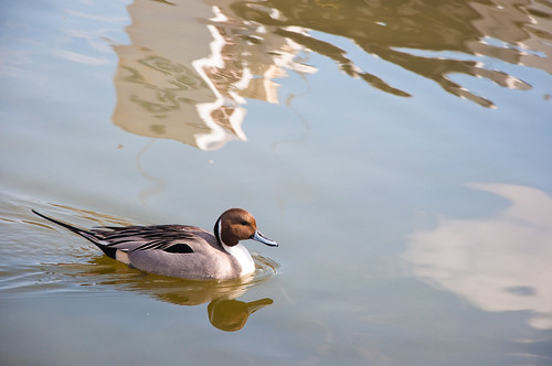 duck in Shinobazu pond