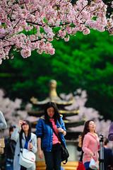 櫻賞天元宮 (Photo-Bear) Tags: sakura 櫻花 天元宮 nikon70200vrii 小黑六