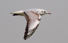 (PhotoGrapherQ80 KWS) Tags: birds kuwait adel abdeen