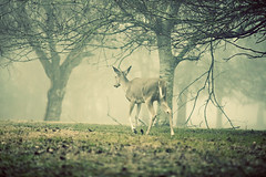 walk away (slight clutter) Tags: morning mist animal fog fauna woods texas wildlife houston deer whitetail gulfcoast