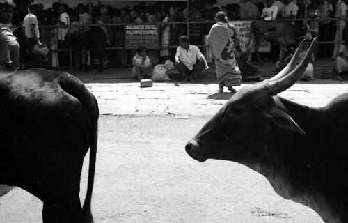 The Bulls of Chamundi Hills