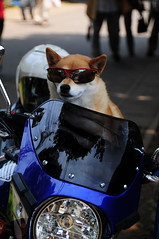 Dog rider (fukui_norisuke) Tags: dog animal bike japan nikon funny chiba sunglass rider matsudo d300 shibaken nikonafsdxvrzoomnikkored18200mmf3556gif