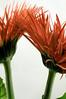 "Gerber Daisy 37, Colorado (sethgoldstein72) Tags: nikon vibrant bestofflickr ishot riceworld greatphotographers flickrrr kartpostal flowersblumen everydaypics flickraward flickrsheaven flowerorfoliagedetail flickrsfantasticflowers floraandfaunaoftheworld naturalexcellencegroup flickridol macroelsalvador flickrestrellas django´smasterclassphotography afeastformyeyes doubledragonawards abundantflowers elclickdenikon it´snotaboutyou ♥flowersorinsectsmacro coloursofflowers flowersmacrowaterdrops thenaturalworldofnature obiettivofotocamera avesyflores flickrsgottalent everythinggoodinnature universalart friendsflickraward ""myfavoritemacro"" photohobbylevel1 flickrstruereflection1 natgeoworldnature awesomelycreativeforedinei flickrsfinestimages1 followmemyfriends covertpaintersphotoshopartists twozweideuxduedva2 awesomelycreative alphaawardsfromsunriserjayscircleofriendslevel1 alphaawards2ofsunriserjayscircleofriendslevel2 motherearthsos flickr´ dream20092013 flickrclickx jopicx"