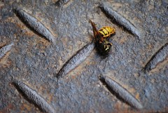 Leave your team (Landerwond) Tags: colour macro nature animal yellow metal insect dead grate death living fly still wasp bright sting wing stripe peaceful gone drain chester solitary slab