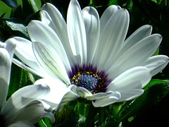 The Beautiful Heart (ho.ge) Tags: flower spring marguerite 1001nights margerite flowerotica mywinners worldbest newgoldenseal 1001nightsmagiccity