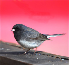 A Dodgy Dark-eyed Junco (kdee64) Tags: spring junco yukon finch april whitehorse darkeyedjunco juncohyemalis linnaeus migratorybird greyandred thewonderfulworldofbirds conicalbeak slatecolouredrace