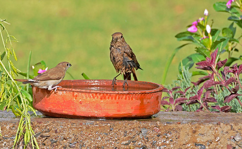 Please Keep Clean Water in Shallow Dishes to Help Birds Survive The Current Heat Wave!!