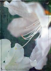 White Azaleas (Maggggie) Tags: flowers white texture spring nikon azaleas f18 d60 35mmlens mywinners cleanzor