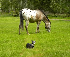 Field Buddies (jkeenan501) Tags: friends field oregon appaloosa buddies pony italiangreyhound laying dogandpony dogandponyshow dogandhorse horseanddog