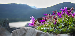 bokehlicious viewpoint (NastyNinja) Tags: cliff mountain canada flower rock canon landscape whistler snowboarding eos weed focus purple bokeh hiking 420 climbing viewpoint blackcomb 60d thechallengefactory